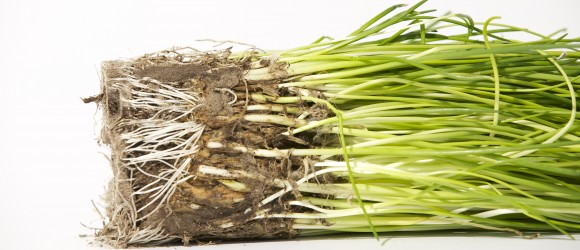 bieslook - kruiden - Peer Voedingadvies - Judith Rolf